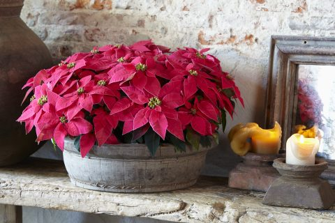 Poinsettia Indian Red