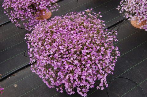 Lobelia-Suntory-Lobelia-Trailing-Pink-301