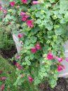 Lophospermum-Lofos-Compact-Rose-301
