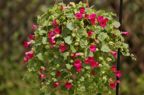 Lophospermum-Lofos-Compact-Rose-302
