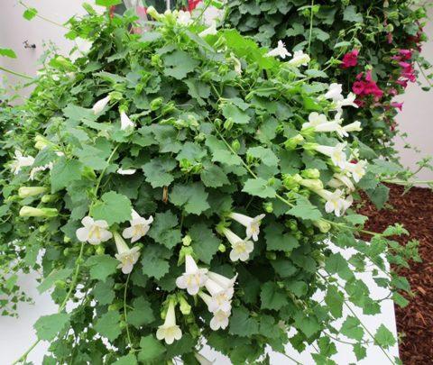 Lophospermum-Lofos-Compact-White-302