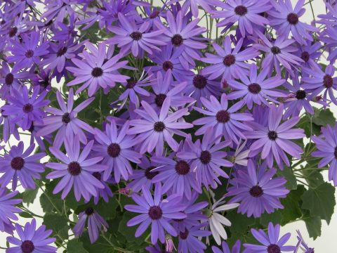 Pericallis-Senetti-Blue-001