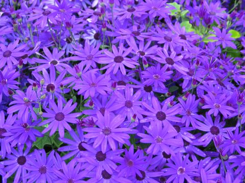 Pericallis-Senetti-DeepBlue-001