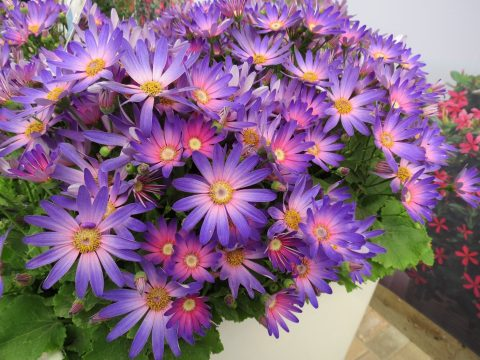 Pericallis-Senetti-Magic-Salmon-001