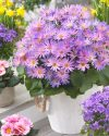 Pericallis-Senetti-Magic-Salmon-302