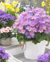 Pericallis-Senetti-Magic-Salmon-303