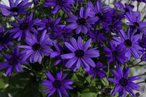 Pericallis-Senetti-SuperBlue-001