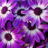 Pericallis-Senetti-VioletBicolor-001