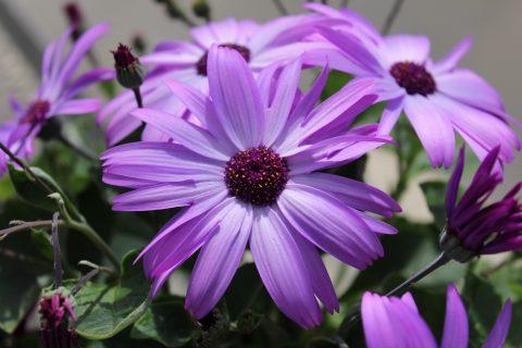 Pericallis-Sparkle-Lavender-001
