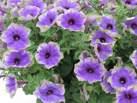 Petunia-Moonlight-Eclipse-Blue-with-Green-Edge-001