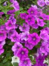 Petunia-Surfinia-Baby-Compact-Purple-001