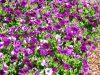 Petunia-Surfinia-Baby-Compact-Purple-301