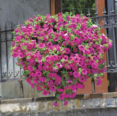 Petunia-Surfinia-Brilliant-Pink-001