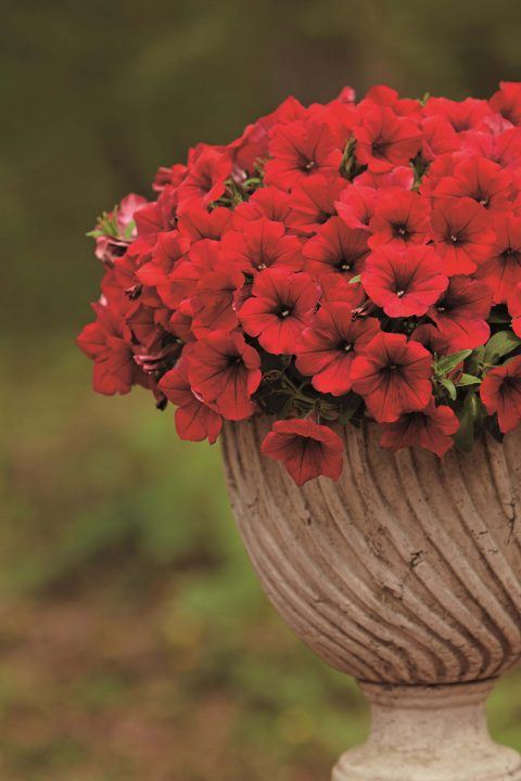 Petunia-Surfinia-Deep-Red-302