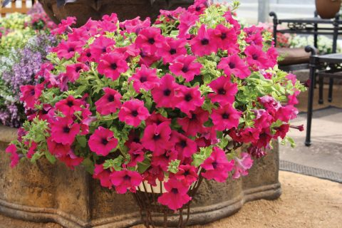 Petunia-Surfinia-Giant-Purple-301