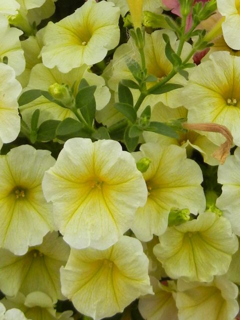 Petunia-Surfinia-Mounding-Patio-Yellow-001