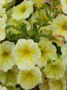 Petunia-Surfinia-Mounding-Patio-Yellow-001