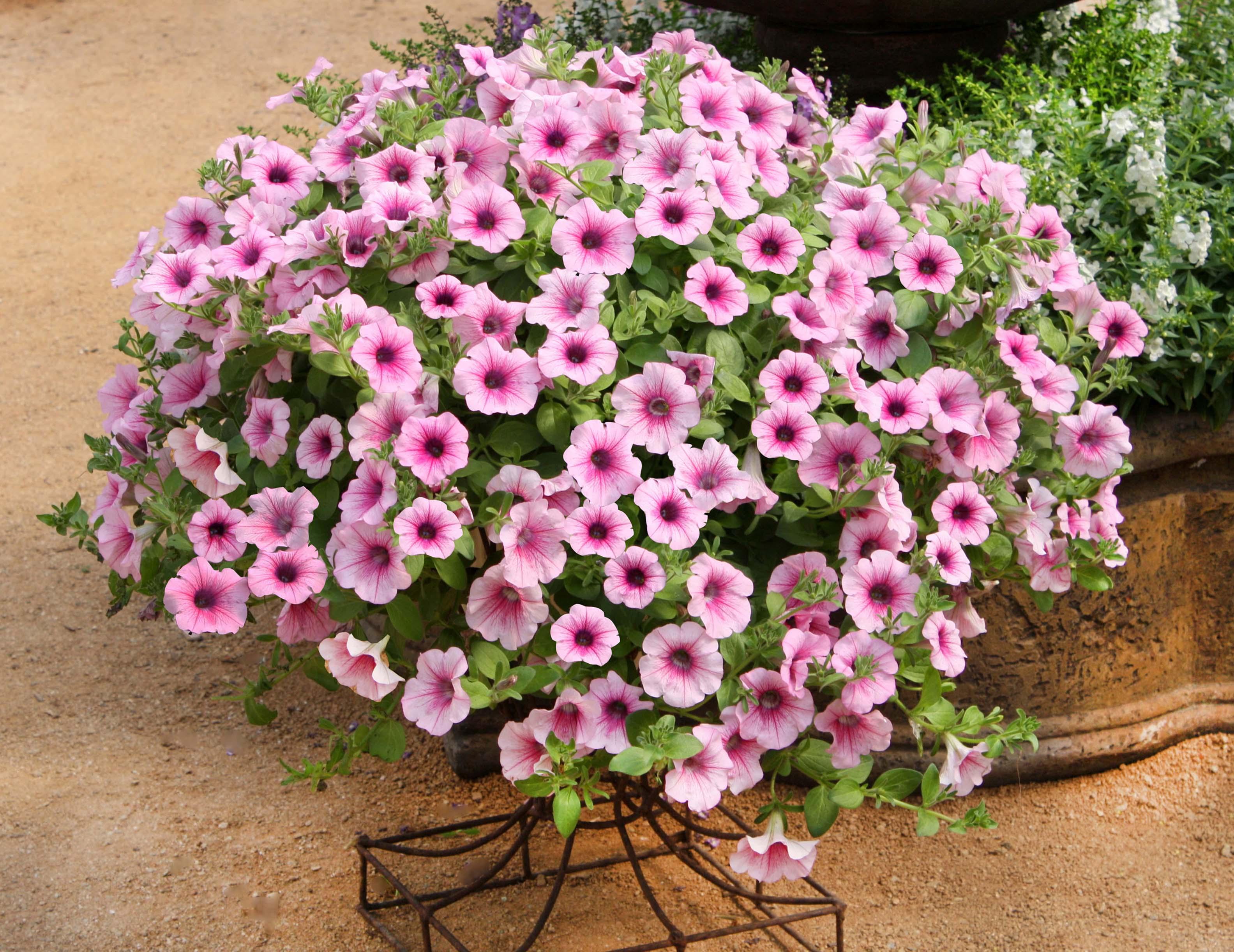 Petunia-Surfinia-Pink-Veined-301
