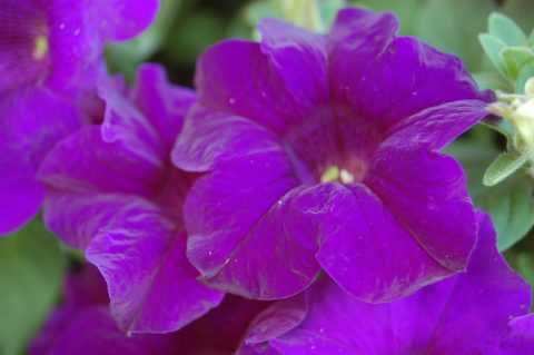Petunia-Surfinia-Purple-Majesty-001