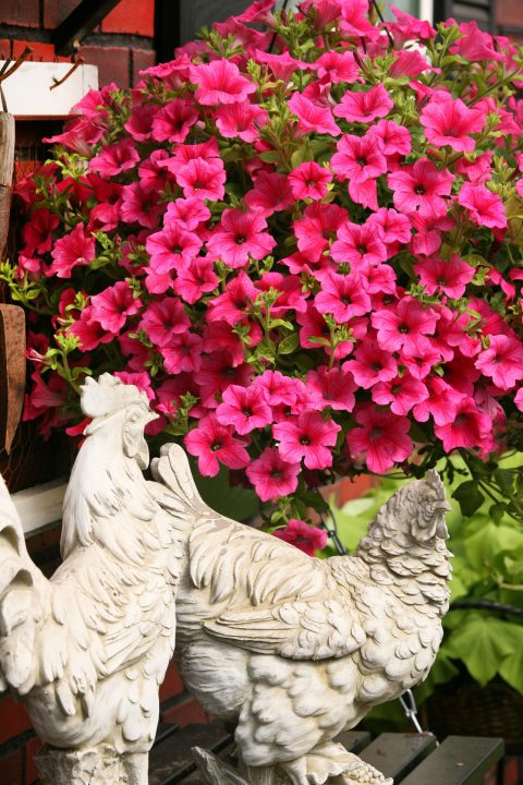 Petunia-Surfinia-Rose-Veined-001