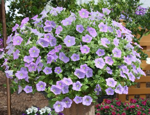 Petunia-Surfinia-Sky-Blue-301
