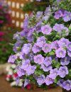 Petunia-Surfinia-Sky-blue-001