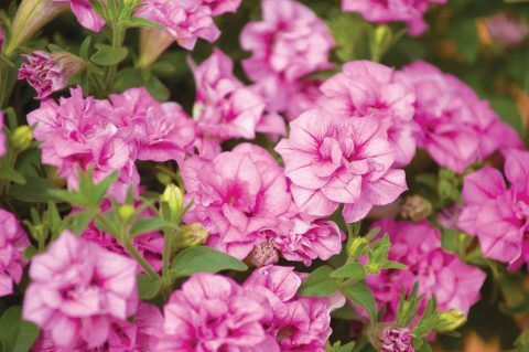 Petunia-Surfinia-Summer-Double-Pink-001