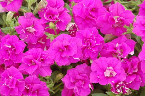 Petunia-Surfinia-Summer-Double-Rose-001