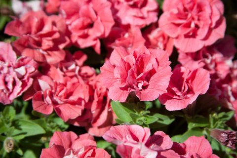 Petunia-Surfinia-Summer-Double-Salmon-001