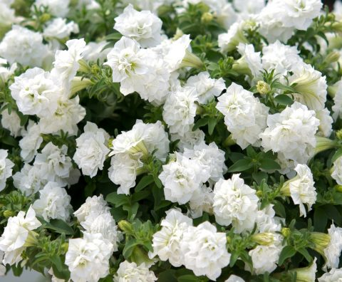 Petunia-Surfinia-Summer-Double-White-001