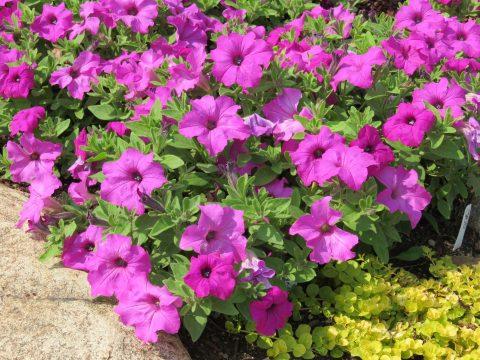 Petunia-Surfinia-Sumo-Bold-Lilac-301