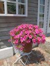 Petunia-Surfinia-Sumo-Pink-302