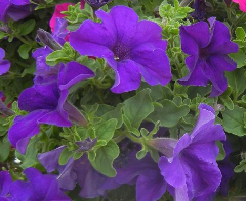 Petunia-Surfinia-Trailing-Giant-Blue-001