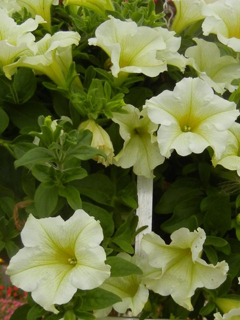 Petunia-Surfinia-Trailing-Lime-001