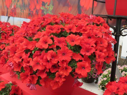 Petunia-Surfinia-Trailing-Red-301