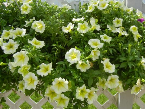 Petunia-Surfinia-Trailing-Yellow-001