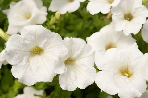Petunia-Surfinia-White-Improved-001
