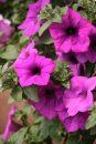 Petunia-Surfinia-Wild-Plum-001