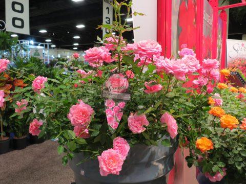 Rosa-Sunrosa-Fragrant-Pink-301