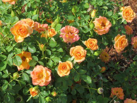 Rosa-Sunrosa-Orange-Delight-301