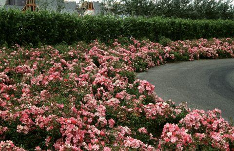 Rosa-Sunrosa-Soft-Pink-301