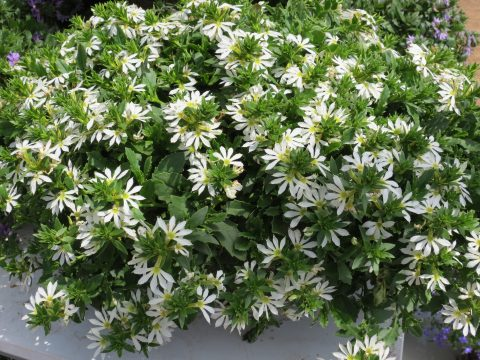 Scaevola-Surdiva-White-Improved-001