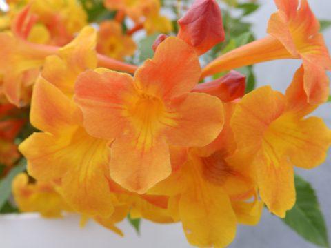 Tecoma-Sun-Trumpets-Orange-002