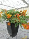 Tecoma-Sun-Trumpets-Orange-301