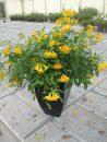 Tecoma-Sun-Trumpets-Yellow-301