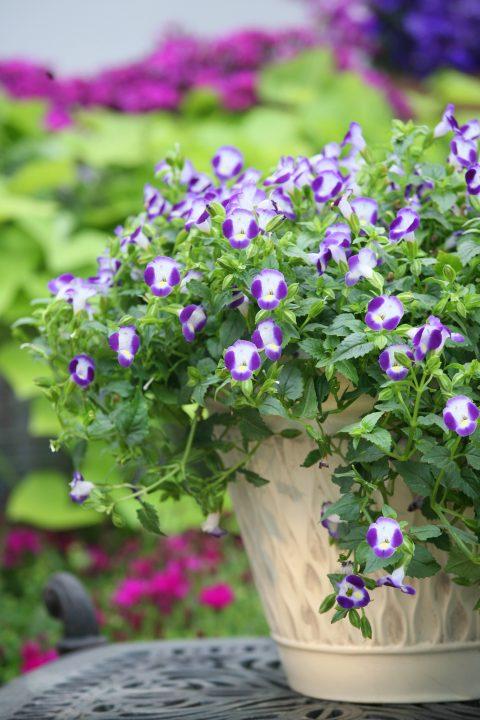 Torenia-Summer-Wave-Bouquet-Blue-301