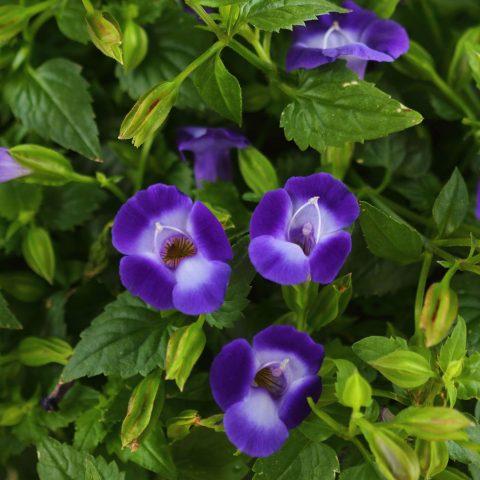 Torenia-Summer-Wave-Bouquet-Deep-Blue-001