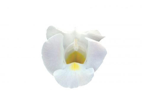 Torenia-Summer-Wave-Bouquet-White-101