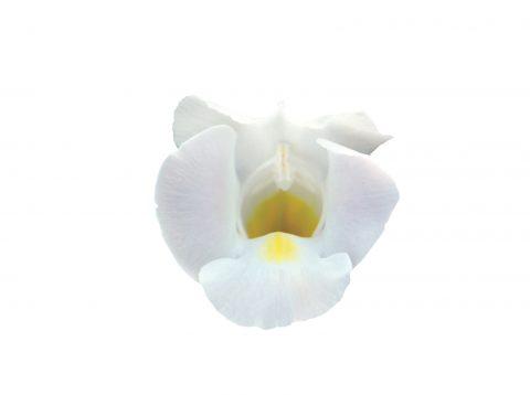 Torenia-Summer-Wave-Bouquet-White-101
