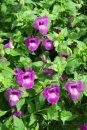 Torenia-Summer-Wave-Trailing-Amethyst-301